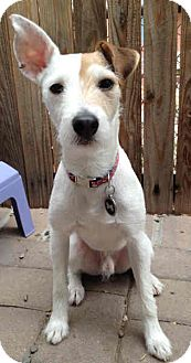 Jack Russell Terrier Dog for Sale in Phoenix, Arizona - DALLAS