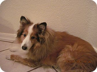 Sheltie, Shetland Sheepdog Dog for Sale in apache junction, Arizona - Beau