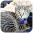 Photo 1 - Domestic Shorthair Cat for adoption in Dallas, Texas - Josie