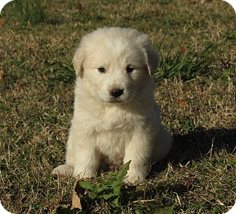 Golden Retriever/Great Pyrenees Mix Puppy for Sale in Glastonbury, Connecticut - Cupid~adopted~