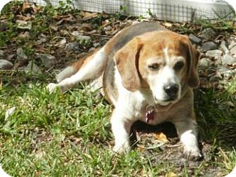 Beagle Dog for adption in Tampa, Florida - Bayou