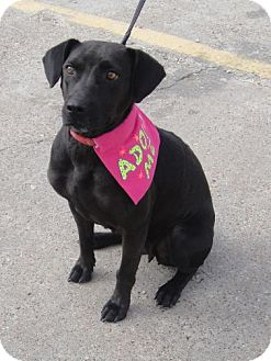 Labrador Retriever Mix Dog for adption in Porter, Texas - Mamba