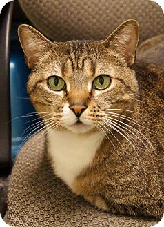 Domestic Shorthair Cat for Sale in Colorado Springs, Colorado - Ivy