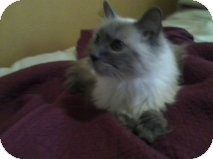 Himalayan Cat for Sale in Palmdale, California - George