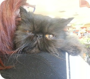Persian Cat for adoption in Beverly Hills, California - Chichi