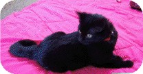 Domestic Shorthair Kitten for Sale in Chicago, Illinois - Taco