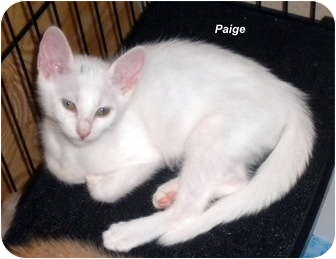 Domestic Shorthair Kitten for Sale in Jacksonville, Florida - Paige