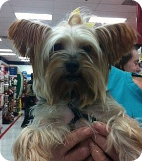 Yorkie, Yorkshire Terrier Dog for Sale in Studio City, California - Gelsey