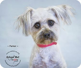 Maltese Mix Dog for Sale in Phoenix, Arizona - Parker