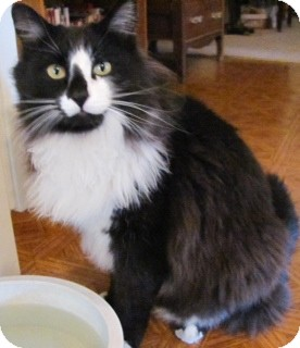 Norwegian Forest Cat Cat for Sale in Scottsdale, Arizona - Felix- courtesy post