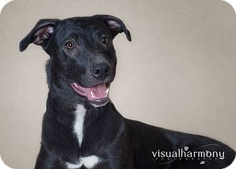Labrador Retriever/Husky Mix Dog for adption in Phoenix, Arizona - Dorothy