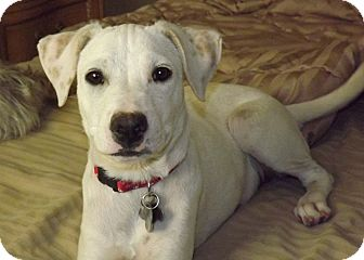 Labrador Retriever/Jack Russell Terrier Mix Dog for Sale in Phoenix, Arizona - Candy