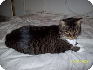 Domestic Shorthair Cat for adoption in Stafford, Virginia - Izzy