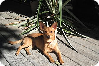 Chihuahua Dog for Sale in Bedford, Virginia - chi-chi
