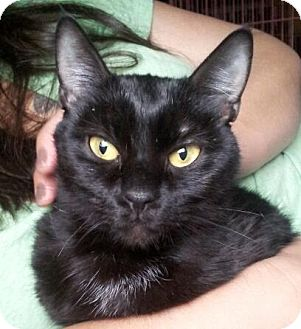 Domestic Shorthair Cat for adoption in Greenville, North Carolina - Aria