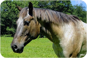 Appaloosa Mix for adoption in Washington, Connecticut - Dinero