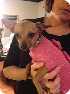 Chihuahua Mix Puppy for Sale in Chicago, Illinois - Pumpkin