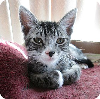 Domestic Shorthair Kitten for Sale in Simi Valley, California - Edward