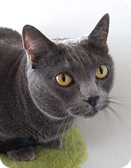 Russian Blue Cat for Sale in Colorado Springs, Colorado - Harley