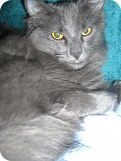 Domestic Mediumhair Kitten for adoption in Middletown, Connecticut - Tristan