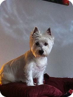 Westie, West Highland White Terrier Mix Dog for Sale in Danbury, Connecticut - Dani ADOPTION PENDING