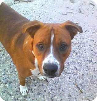 Boxer Mix Dog for adption in Porter, Texas - Tiger Love