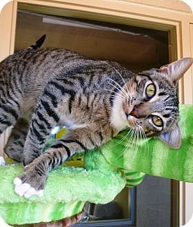 Domestic Shorthair Cat for Sale in Chula Vista, California - Melody
