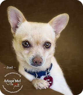 Chihuahua Mix Dog for Sale in Phoenix, Arizona - Joel