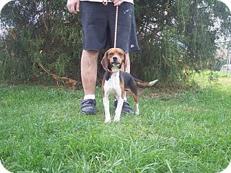 Beagle Dog for Sale in Germantown, Maryland - Pistol