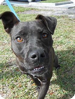 Pit Bull Terrier Mix Dog for Sale in Gainesville, Florida - Minnie