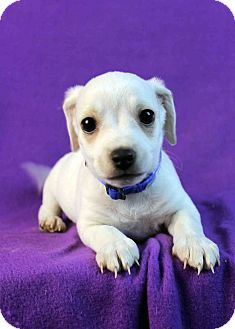 Poodle (Miniature)/Dachshund Mix Puppy for Sale in Westminster, Colorado - Duncan