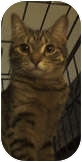 Maine Coon Cat for adoption in New York, New York - Dixie