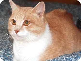 Domestic Shorthair Cat for adoption in N. Berwick, Maine - Orange
