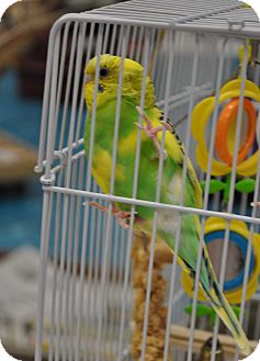 Budgie for Sale in Shawnee Mission, Kansas - Winky