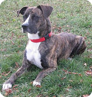 Boxer Mix Dog for adption in Lisbon, Ohio - Rocky