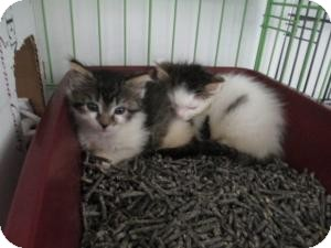 Domestic Shorthair Kitten for Sale in Oceanside, New York - Sophia & Jerry