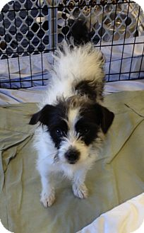 Terrier (Unknown Type, Small) Mix Dog for Sale in Chandler, Arizona - Skeeter