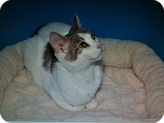 Domestic Shorthair Cat for adoption in Ranch Palos Verdes, California - Colby