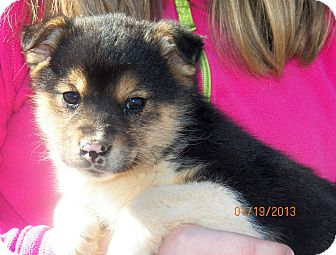 Husky/Shepherd (Unknown Type) Mix Puppy for Sale in Sussex, New Jersey - Mystic