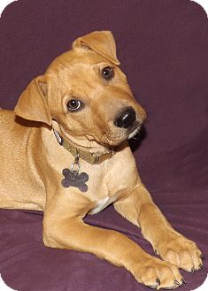 Labrador Retriever/Shar Pei Mix Puppy for Sale in Phoenix, Arizona - Aries