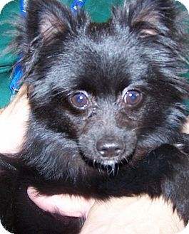 Pomeranian/Chihuahua Mix Puppy for Sale in Grants Pass, Oregon - Rocky