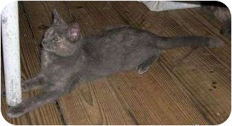 Domestic Shorthair Cat for adoption in Cocoa, Florida - Pi