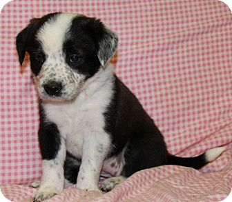 Border Collie/Chow Chow Mix Puppy for Sale in Greeley, Colorado - Penguin