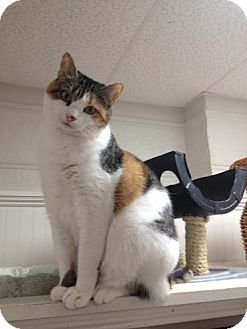 Domestic Shorthair Cat for adoption in Webster, Massachusetts - Cutie