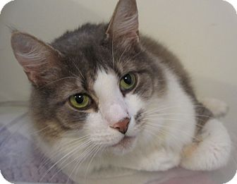 Domestic Shorthair Cat for adoption in Hamilton, New Jersey - HARRY