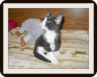 Domestic Shorthair Cat for Sale in Medford, Wisconsin - TUCKER