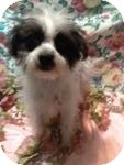 Maltese/Poodle (Toy or Tea Cup) Mix Puppy for Sale in Manchester, Connecticut - Lelu ADOPTION PENDING
