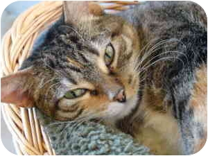 Domestic Shorthair Cat for Sale in Chicago, Illinois - Cora
