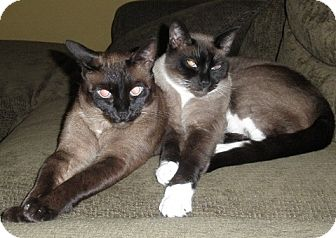 Burmese Cat for Sale in Vacaville, California - Mocha and Milo