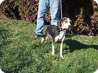 Foxhound Mix Dog for Sale in Germantown, Maryland - Hettie
